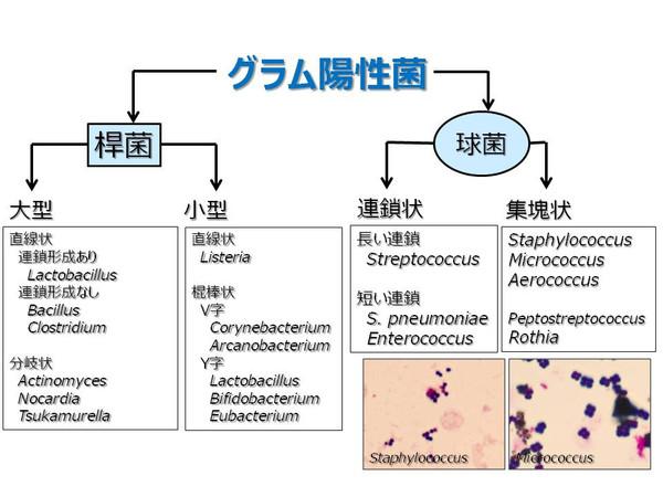 染色 原理 グラム